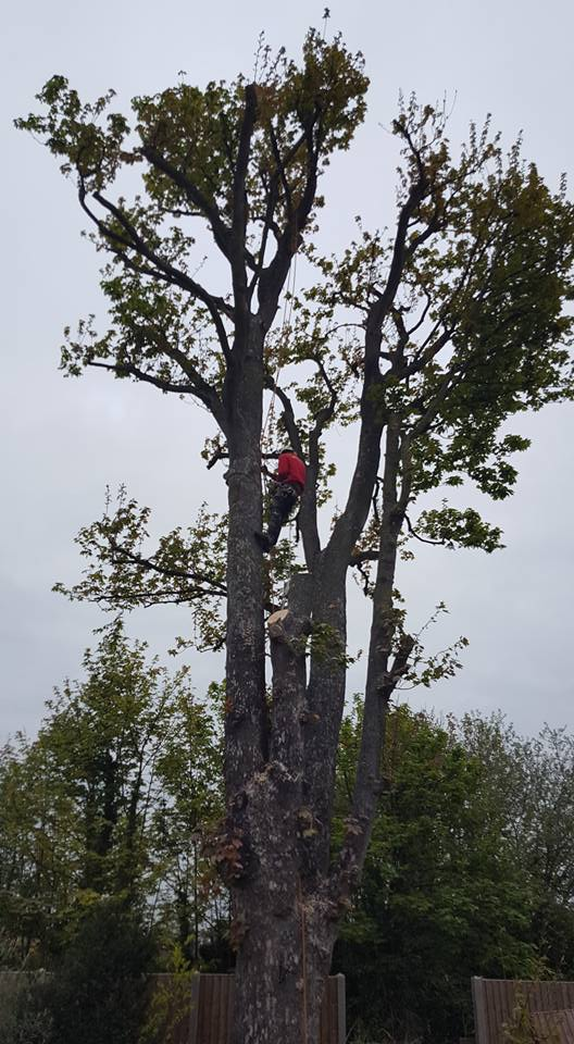 Some work carried out by Top Tree Fella's - 07719 306404 - Hertfordshire, Cambridgeshire